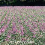 【特集】鳥取砂丘とラベンダー色のらっきょうの花、そして城崎温泉の2泊3日